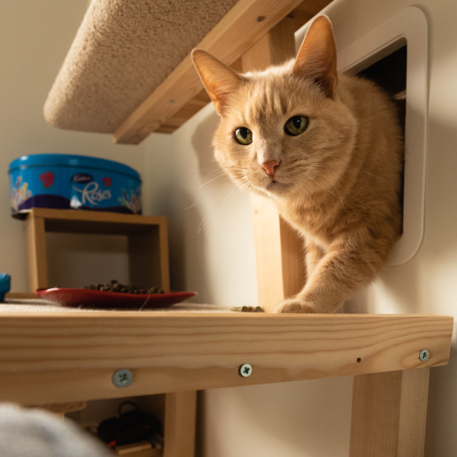"""Ginger cat in home i head through indoor catflap."" stock image"