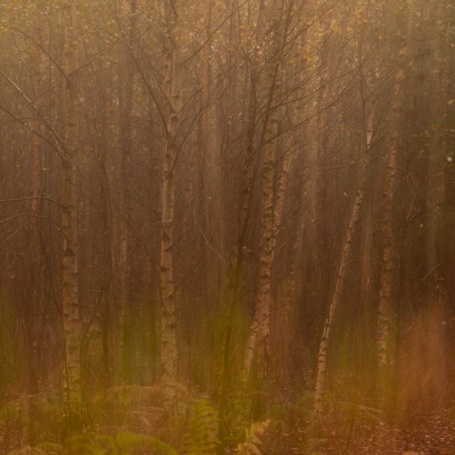 """Silver Birch and bracken woodland misty morning iii multiple exposure abstract."" stock image"
