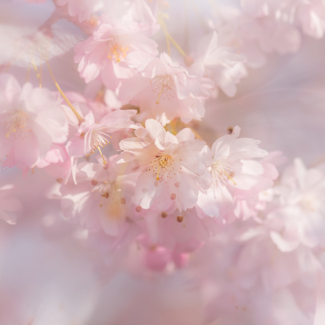 """Tree blossom soft bg xiv double exposure abstract."" stock image"