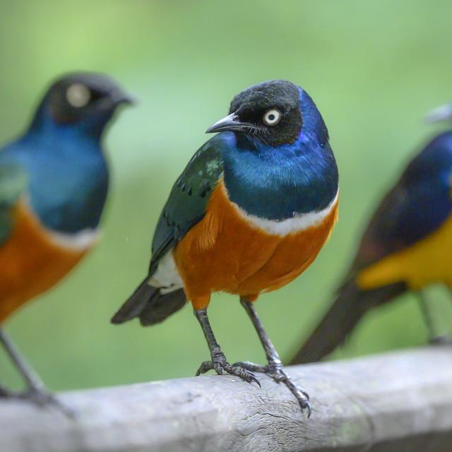 """Superb Starling"" stock image"