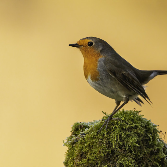 """The european robin (Erithacus rubecula)"" stock image"