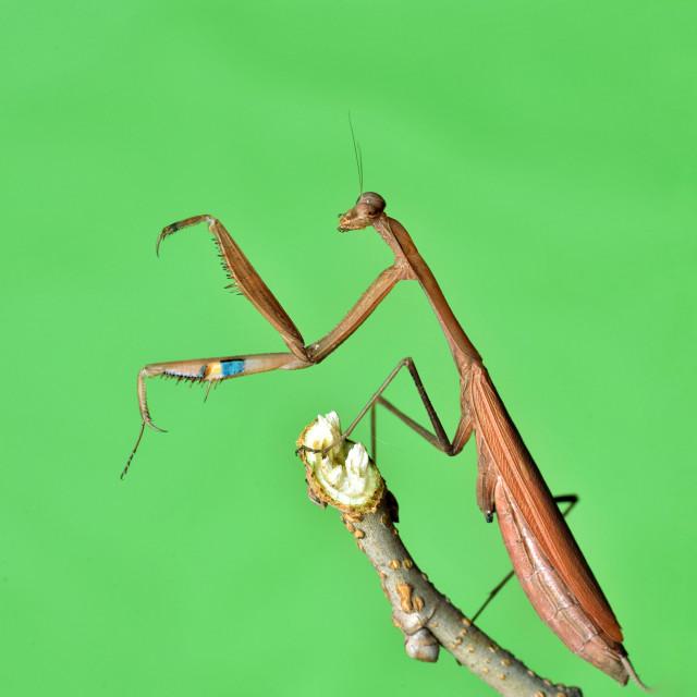 """Kung Fu Mantis"" stock image"