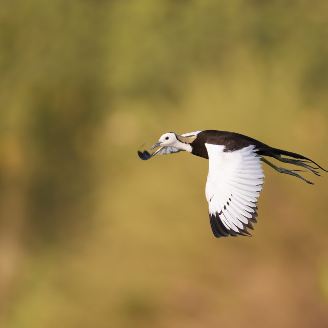 """The gorgeous bird pheasant tailed jacana flying"" stock image"