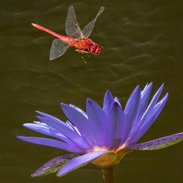 """Flame Skimmer in Flight"" stock image"