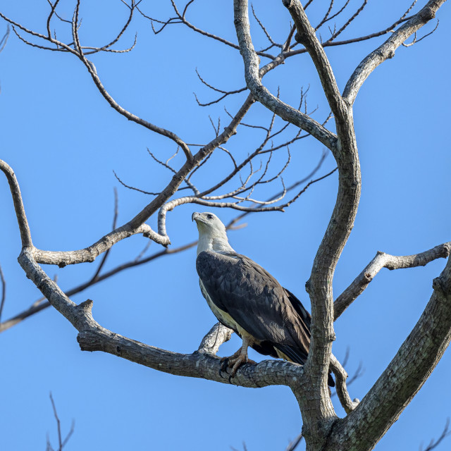 """""""White-Bellied Sea Eagle on perch"""" stock image"""