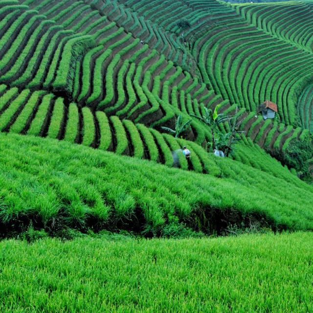 """""""Onion Terrace Field"""" stock image"""