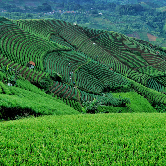 """Onion Terrace Plantation"" stock image"
