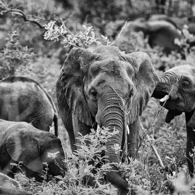 """Elephants in the bush B&W"" stock image"