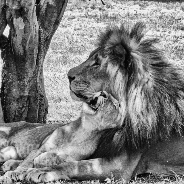 """""""lazy little King BNW"""" stock image"""