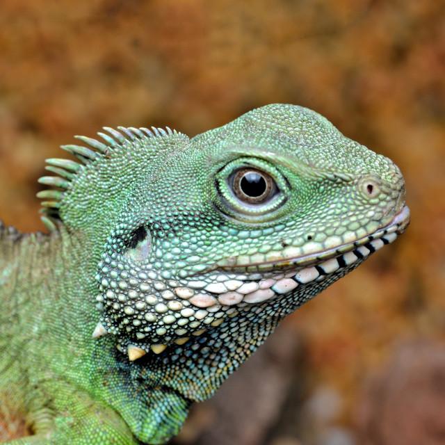 """Green Chinese Water Dragon"" stock image"