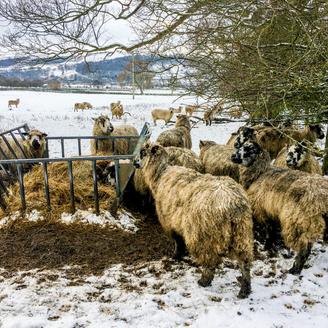 """Swaledale Sheep eating silage/hay from a feeder in a Snow Covered Field"" stock image"