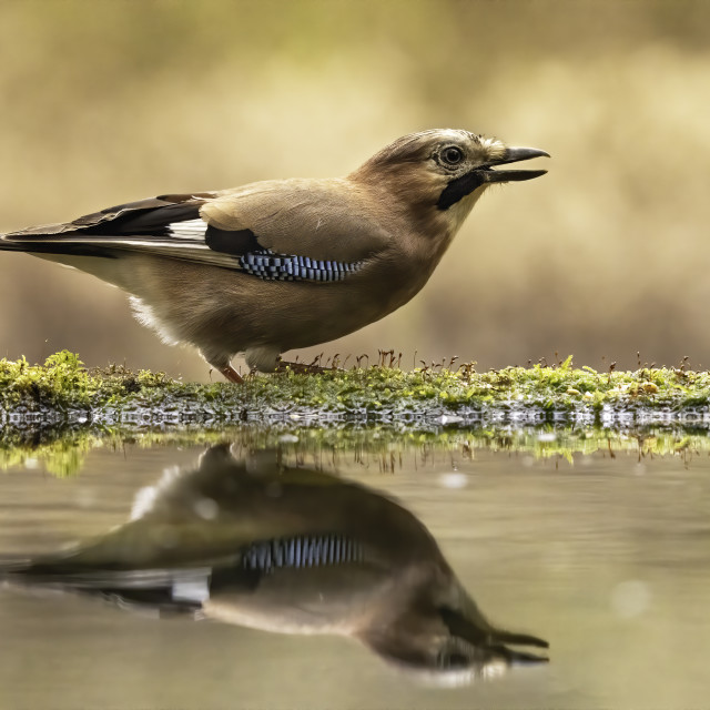 """The Eurasian jay (Garrulus glandarius)"" stock image"