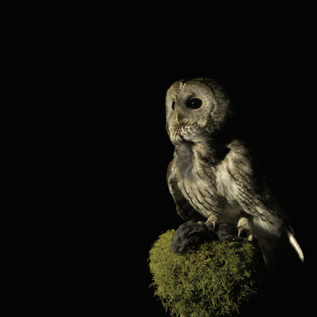 """Tawny owl (Strix aluco)"" stock image"