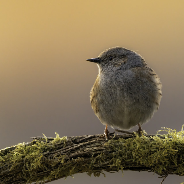 """The Dunnock (Prunella modularis)"" stock image"