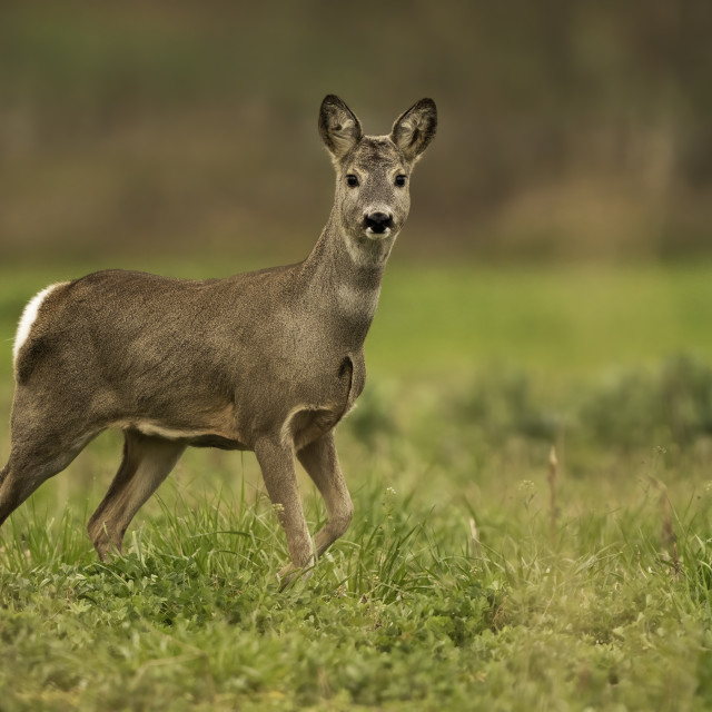 """Roe deer (Capreolus capreolus)"" stock image"