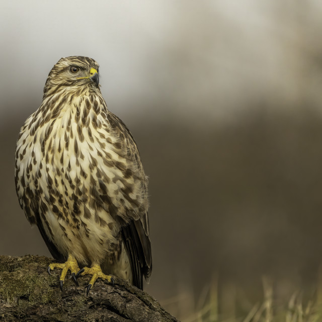 """The common buzzard (Buteo buteo)"" stock image"