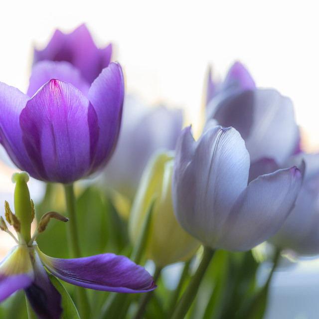 """""""Purple and blue tulips"""" stock image"""