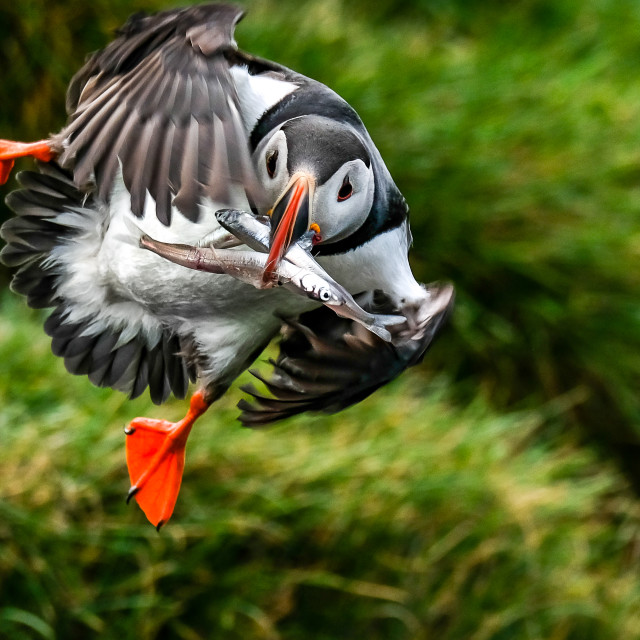 """""""Puffin Flying Fish"""" stock image"""