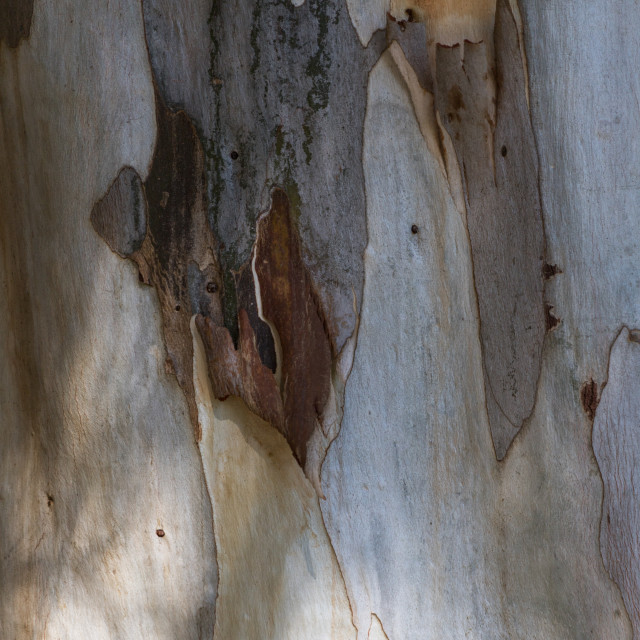 """Bark of a eucalyptus tree"" stock image"