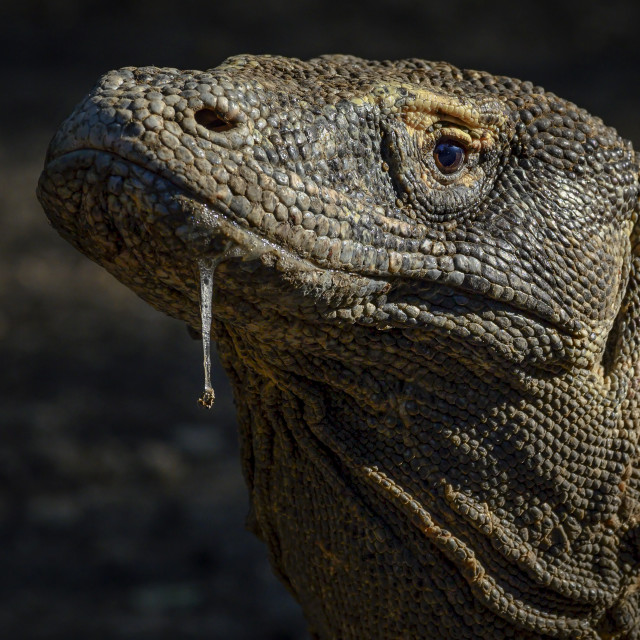 """Komodo Dragon 02"" stock image"