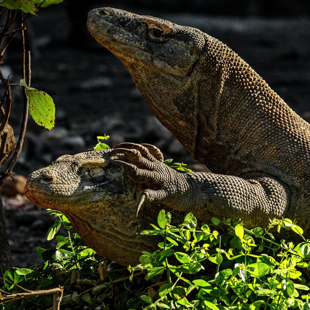 """Komodo Dragons mating 02"" stock image"