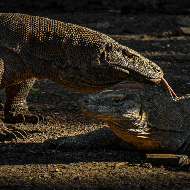 """Komodo Dragons 01"" stock image"