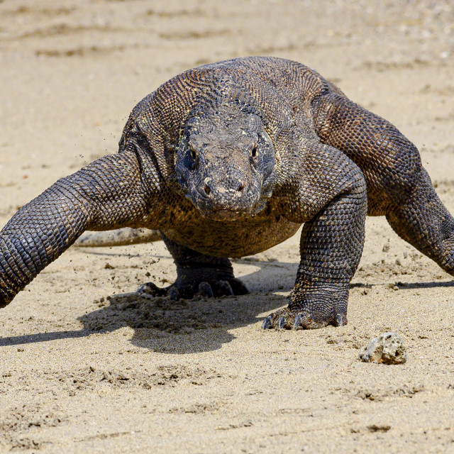 """Komodo Dragon 05"" stock image"