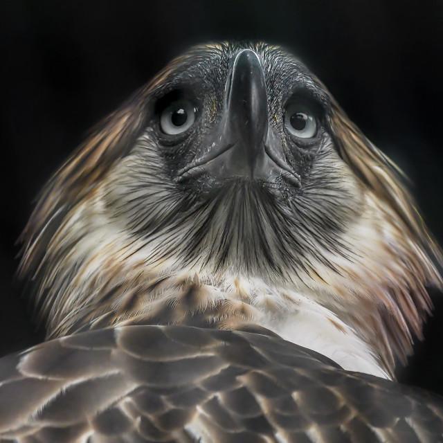 """""""Philippine Eagle 01"""" stock image"""