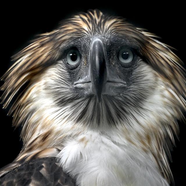 """""""Philippine Eagle 02"""" stock image"""