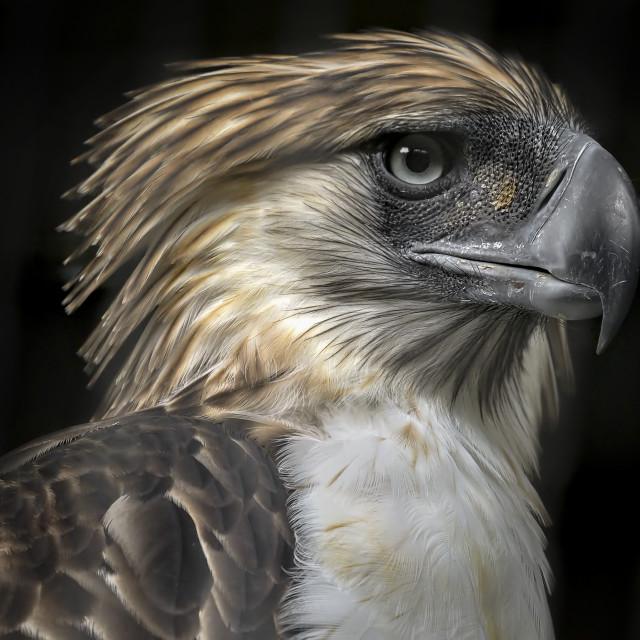 """""""Philippine Eagle 04"""" stock image"""
