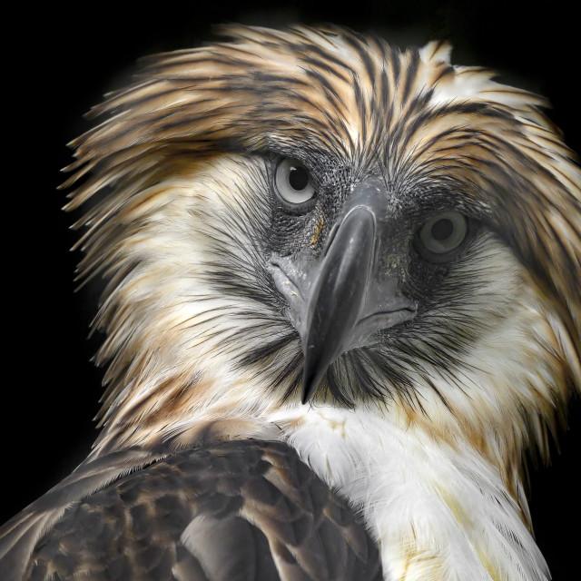 """""""Philippine Eagle 03"""" stock image"""