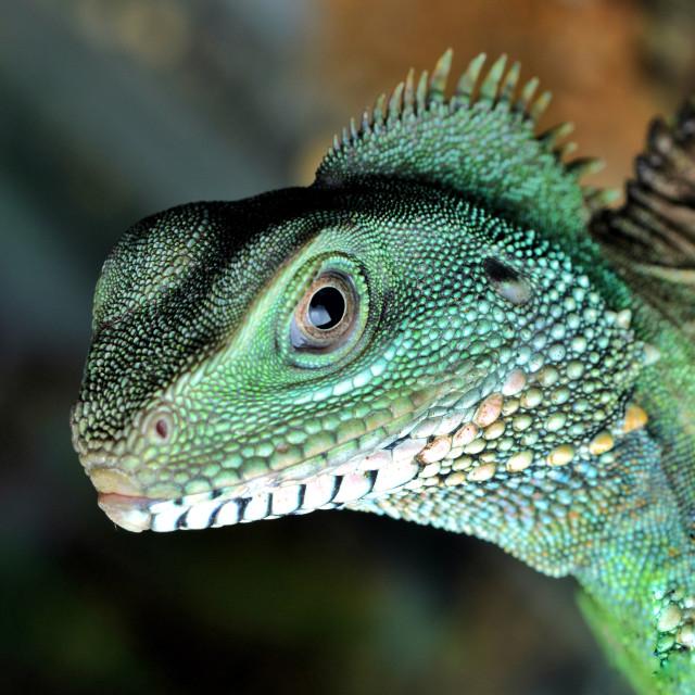"""Green Lizard"" stock image"