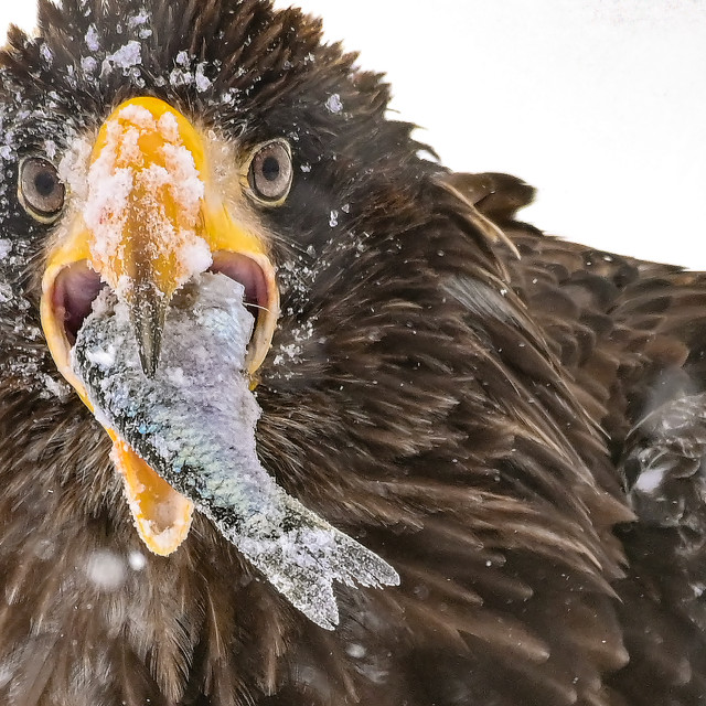 """""""Steller Sea Eagle with catch"""" stock image"""