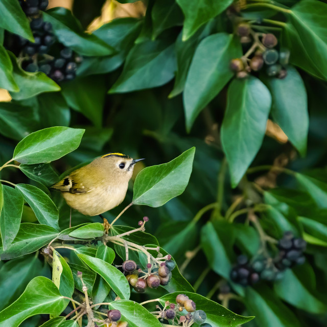 """""""Goldcrest (Regulus regulus) perched among some ivy, taken in London, England"""" stock image"""