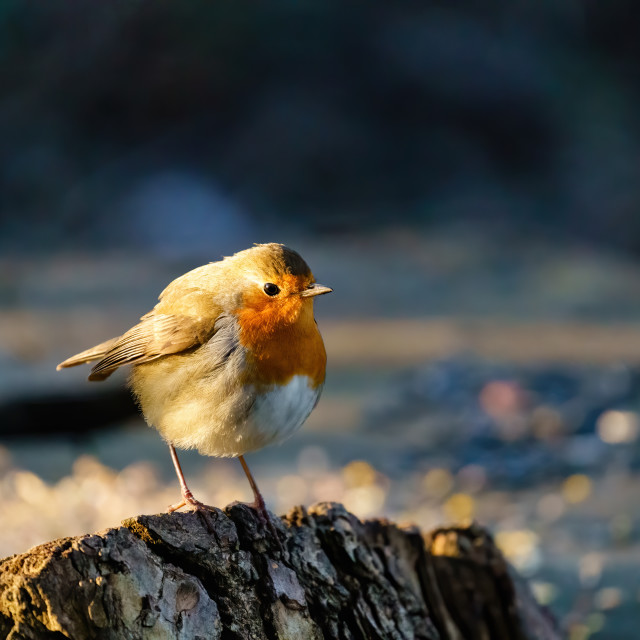 """European Robin (Erithacus rubecula) perched on a tree stump in early morning..."" stock image"
