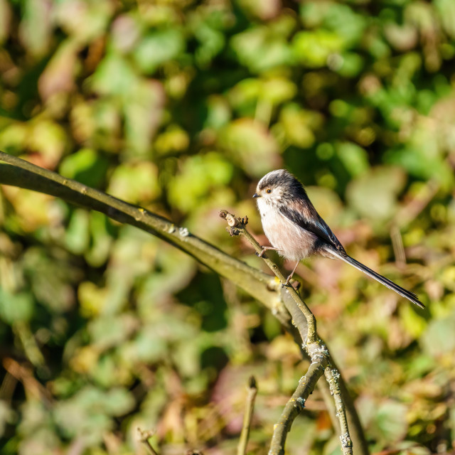 """""""Long-tailed tit (Aegithalos caudatus) perched on a twig, taken in the UK"""" stock image"""