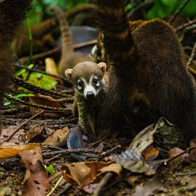 """Baby Ring-Tailed Coati (Nasua nasua rufa) peaking from it's mothers side,..."" stock image"