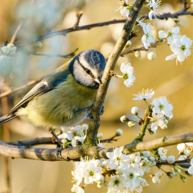 """Blue Tit (Cyanistes caeruleus) rubbing it's beak on a blossoming tree branch,..."" stock image"