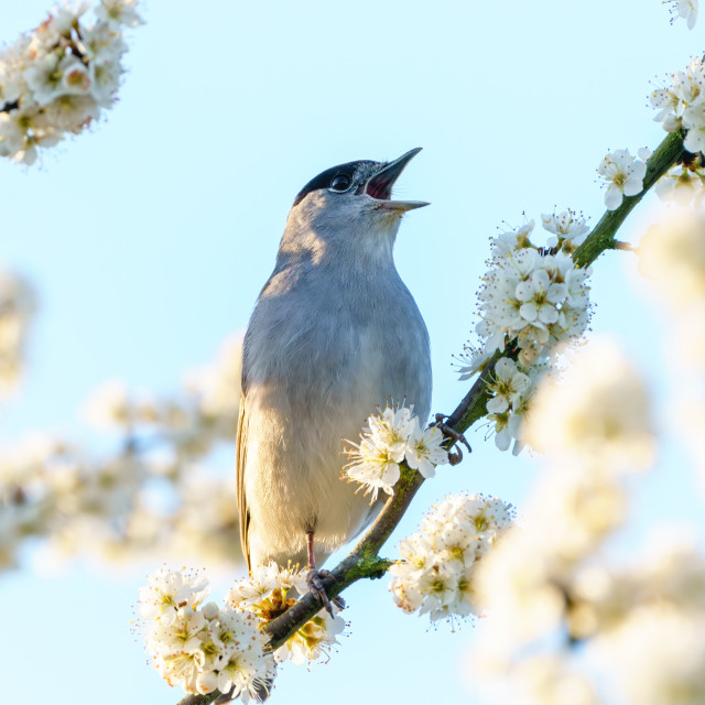 """""""Blackcap (Sylvia atricapilla) male perched among blossoms singing, taken in..."""" stock image"""