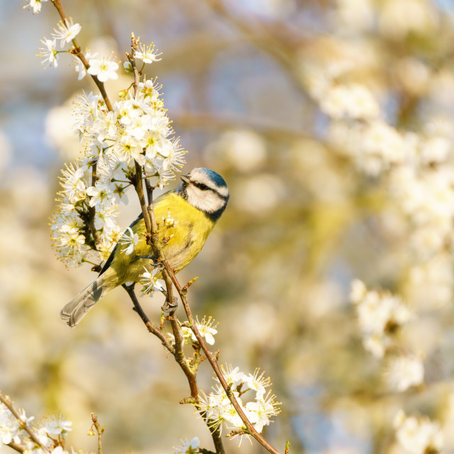 """""""Blue Tit (Cyanistes caeruleus) on searching blossoms for food, taken in the..."""" stock image"""