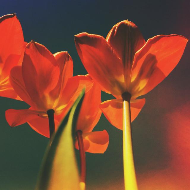 """Looking underneath tulip flowers"" stock image"