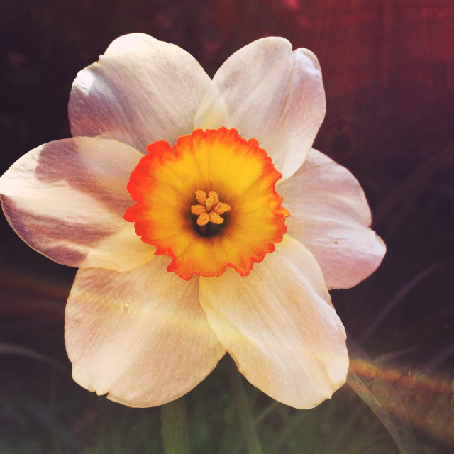 """Daffodil flower"" stock image"