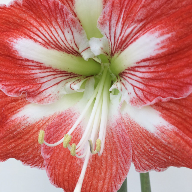 """Red and white amaryllis flower"" stock image"