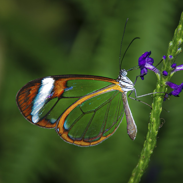 """""""Glasswing butterfly on green background"""" stock image"""