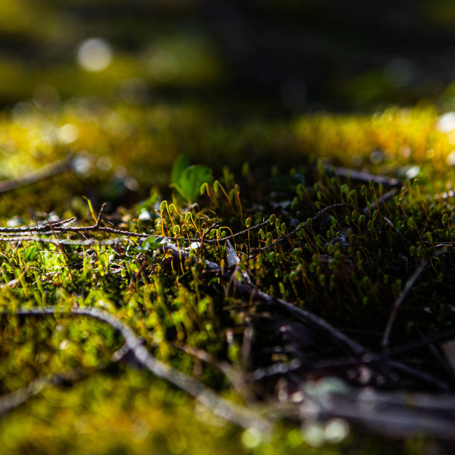 """Moss in Spring Macro Photograph"" stock image"