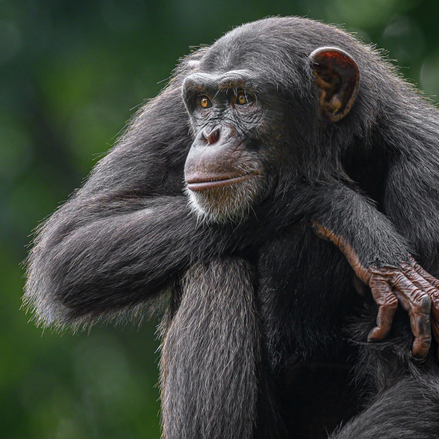 """Chimpanzee 02"" stock image"