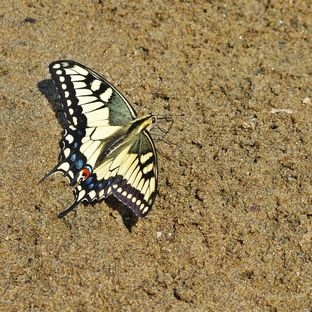 """Sand Swallowtail Butterfly"" stock image"