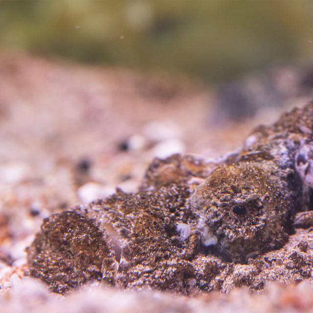 """Stone fish"" stock image"