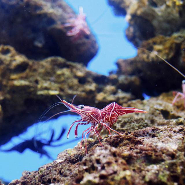 """Camel shrimp"" stock image"