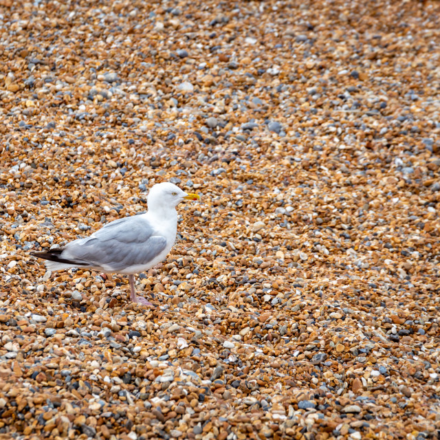 """Seagull on the pebble beach of Brighton, England"" stock image"